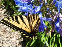 Accidental Butterfly 2012-06-25 13.55.28 by VioletRosePetals