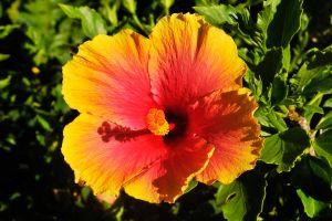 Hibiscus 1 - Maui by wildplaces