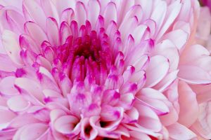 close-up of pink flower I by a6-k