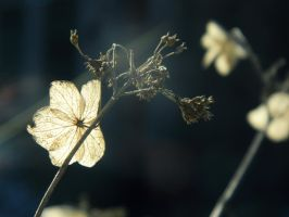 Dried Flowers by leighbennett