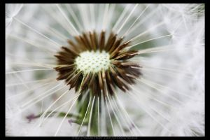 Dandelion by tdiaus