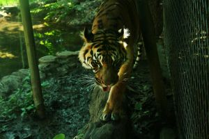 Tiger 1 by Heart-Dust