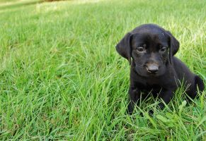 Labrador Retriever by DespiseTheFool