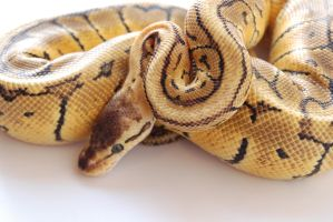 Lemon Blast Ball Python 11 by FearBeforeValor