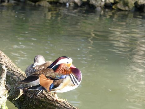Mandarin duck stock by LittleOph