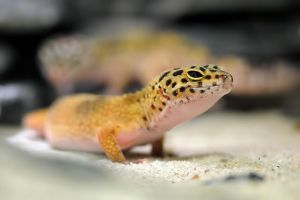 Leopard Gecko by Alex-dan