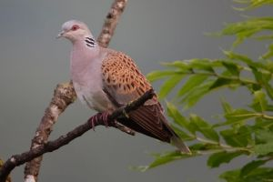 ...turtledove... by Ulliart