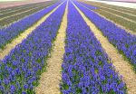 Spring Flowers Holland II by Jenvanw