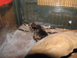 Kryptona's First Molt Starting by RayneHime