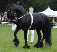 Friesian Stallion 01 by ponystock