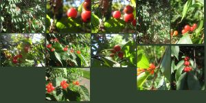 red berries Pack by CotyStock