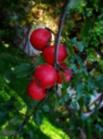 Apples by Andenne