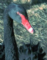 The Black Swan by rebnic