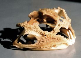 African Bullfrog skull 1 by WarpSkellian