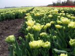yellow tulip field by schaduwvacht