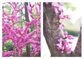 Eastern Redbuds by druideye