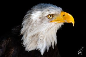 bald eagle by SunshadePICTURES