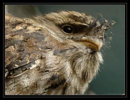 Tawny Frogmouth by robbobert