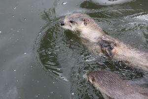 River Otters by Jade-Rat