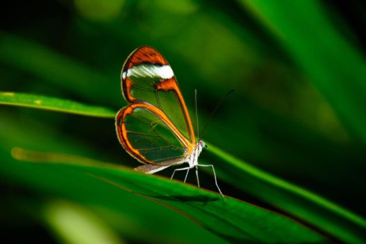 Glasswing Butterfly by OwlFeatherPhotos