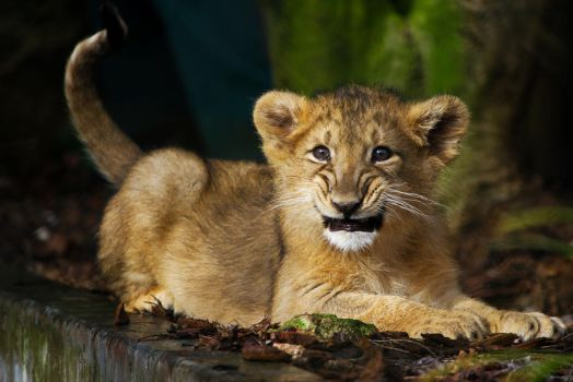 Lion Cub! by XantheRowland