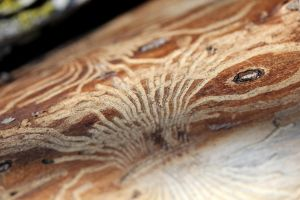 Wood grooves caused by insects 1 by greyrowan