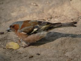Common chaffinch by 75ronin