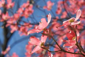 Pink Dogwood Blossoms 2 by Vironevaeh