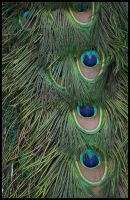 Peacock feathers by ChaoticatCreations