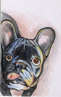 French bulldog by Sashe4ka