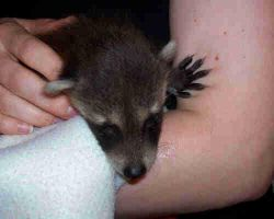 Baby Raccoon- wheres my bottle by TheCopperDragon2004