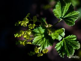 Redcurrant by rdalpes