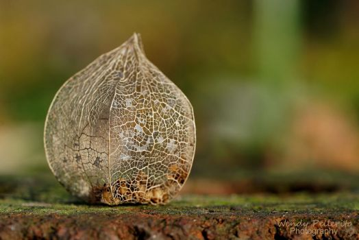 Ground Cherry Seed Pod by wendy-pellerito