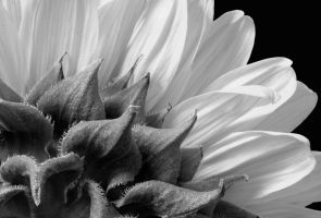 Sunflower by FrozenCandle