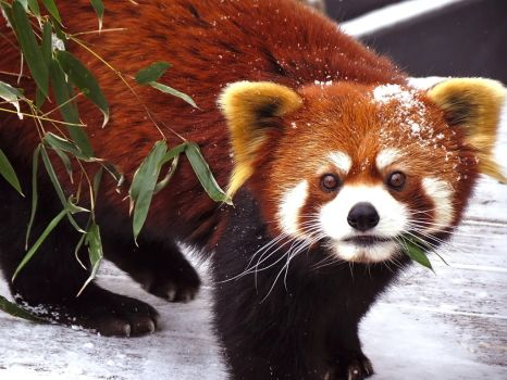 Red Panda Stock 6 by HOTNStock
