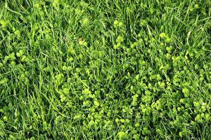 Grass and clover by sicmentale