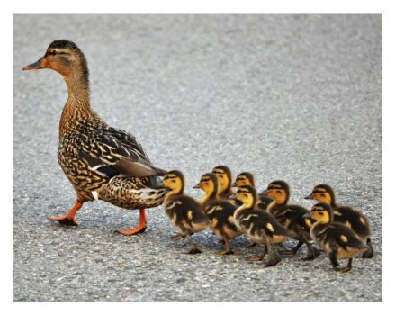 Make Way For Ducklings II by Xandriia1