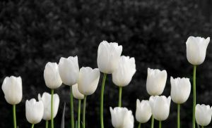 tulips by PSRADICH