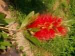 Unknown red plant 2 by NiagraFalls