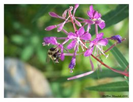 Bee on Flower 1 by Bleezer