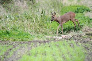 Approaching Roe Deer by darkcalypso