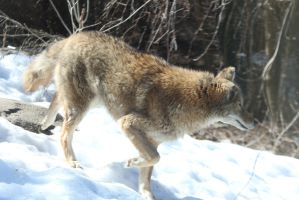 Coyote Stock 10: Running by HOTNStock