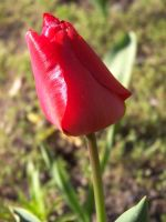 tulip. by mirbiggles