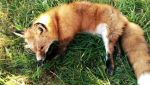 Red Fox softmount  by KaypeaCreations