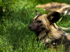 Painted Hunting Dog - June 10 by mszafran