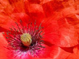 Red Poppy by RoseSparrow
