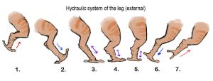 Hydraulic systems of legs by Exobio