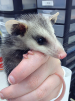 Baby Opossum by MBPanther