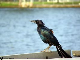 Old Grackle by alucard07