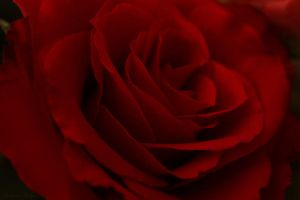 Rote Rose by Seqbre